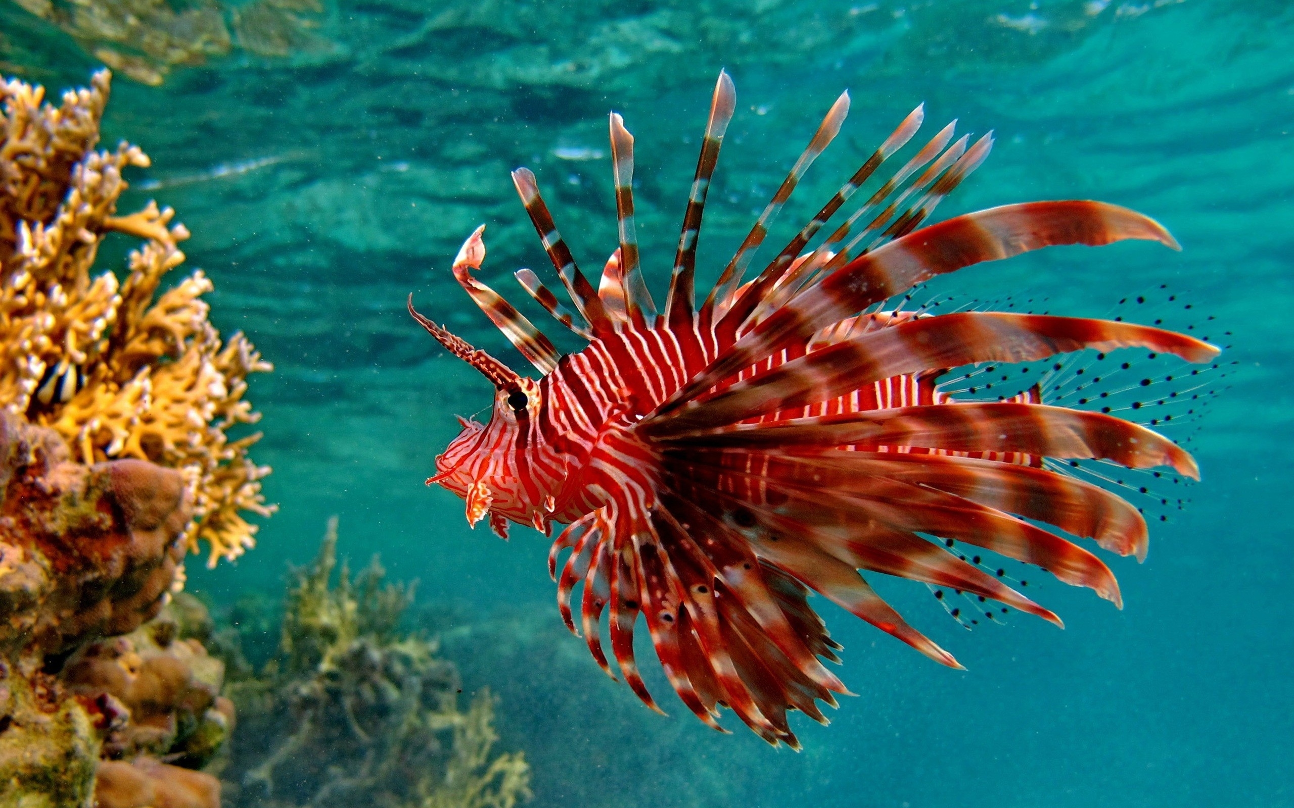 Lionfish things to do in roatan for Saltwater reef fish